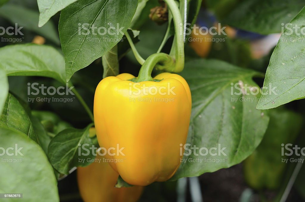 Growing yellow pepper stock photo