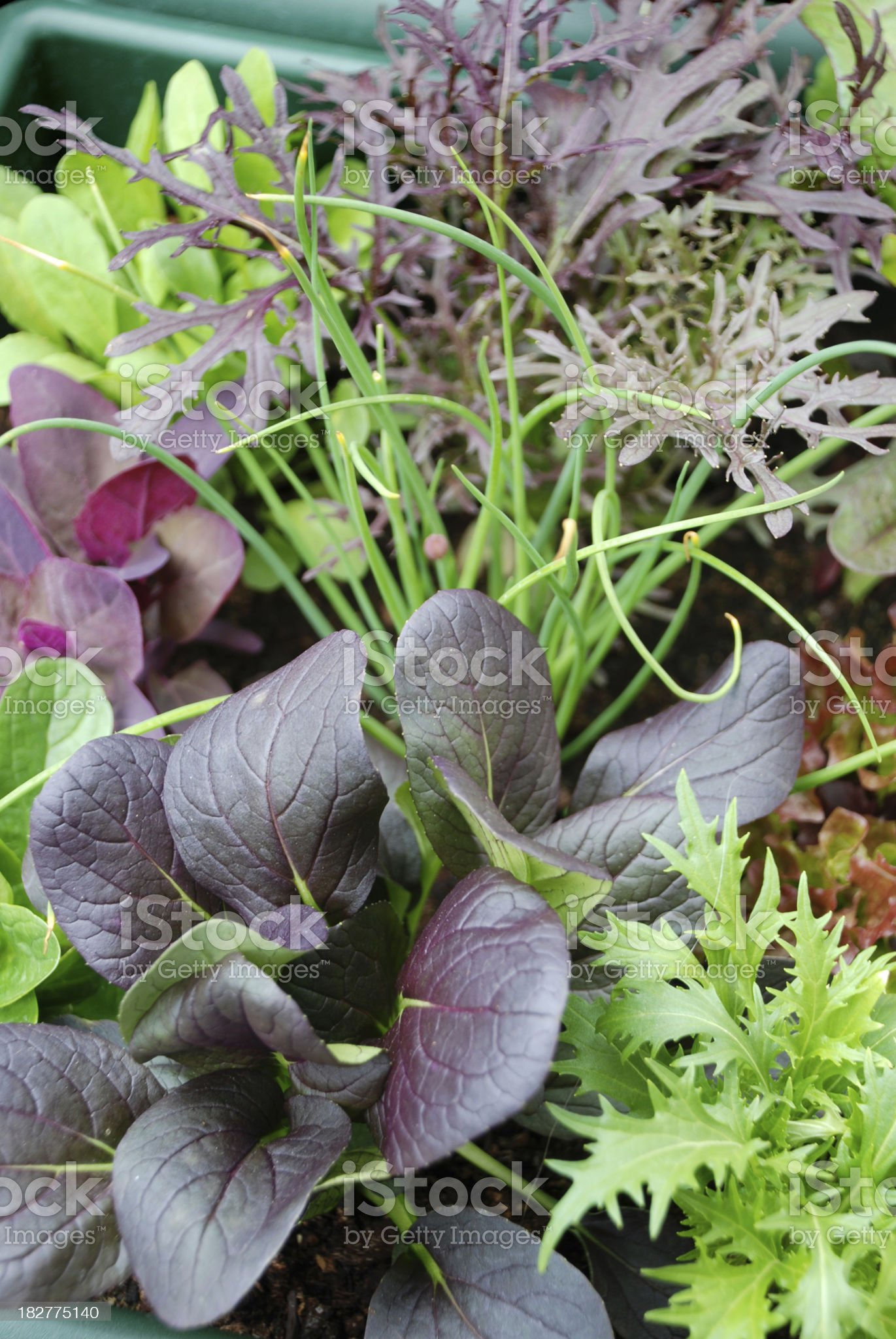 Growing Your Own Salad royalty-free stock photo