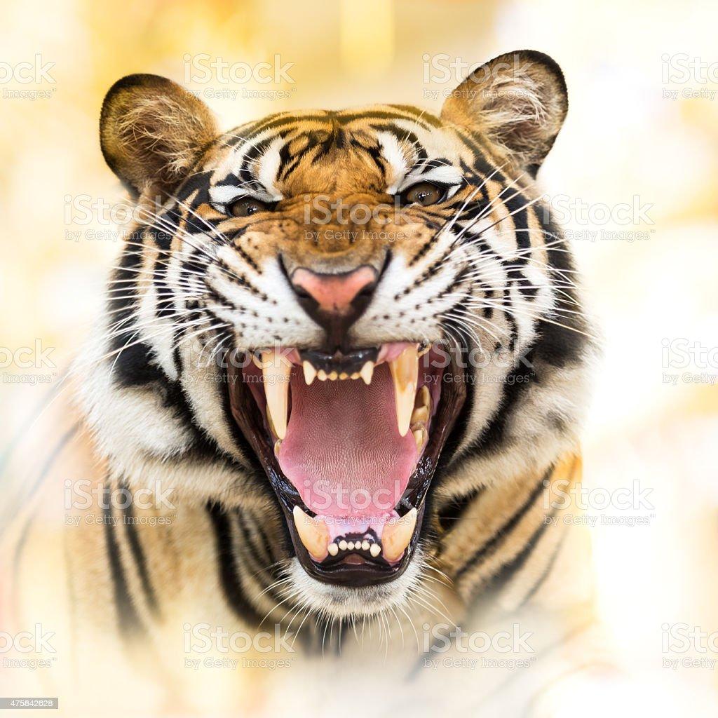 Growl siberian tiger stock photo