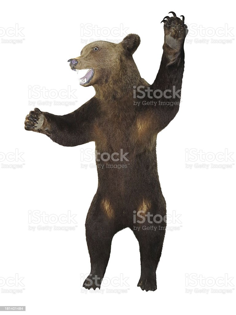 Growling angry brown bear isolado sobre o branco foto de stock royalty-free