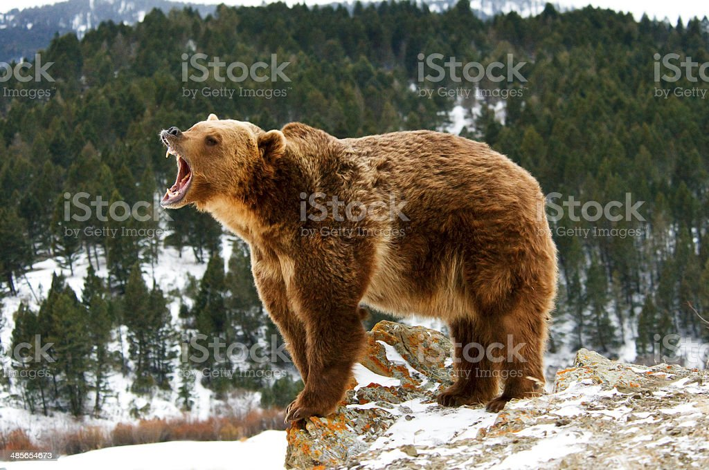 Growling Grizzly Bear stock photo