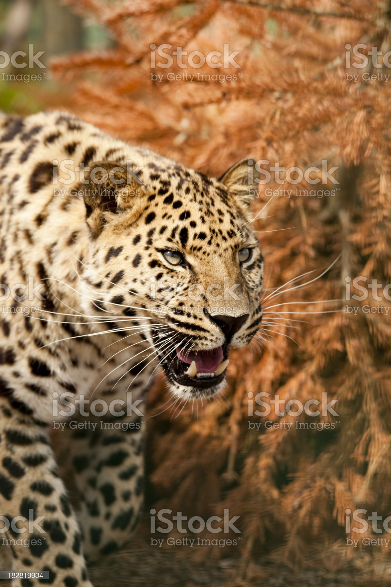 Growling leopard royalty-free stock photo