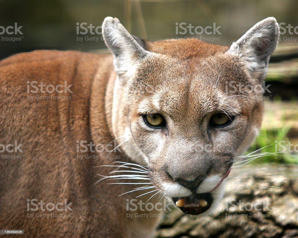 Growling royalty-free stock photo