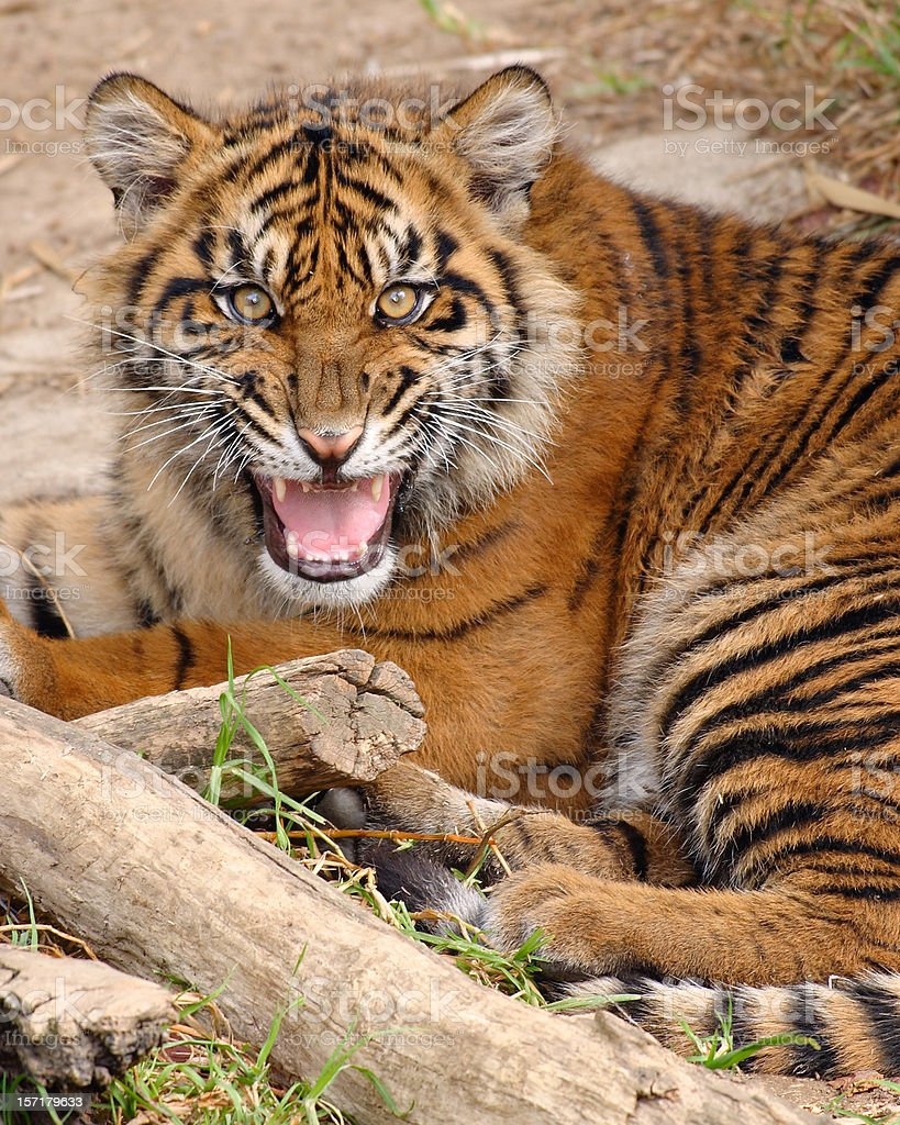 Growling Tiger stock photo