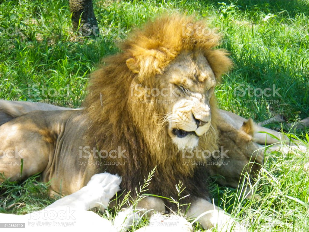 Growling Wild Lions Safari South Africa stock photo