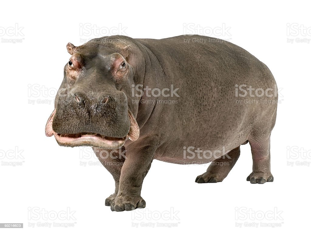 Grown hippopotamus aged 30 years on a white background stock photo
