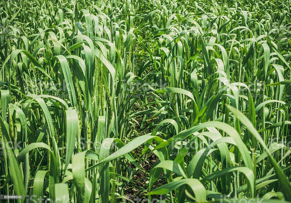 Grown winter wheat stock photo
