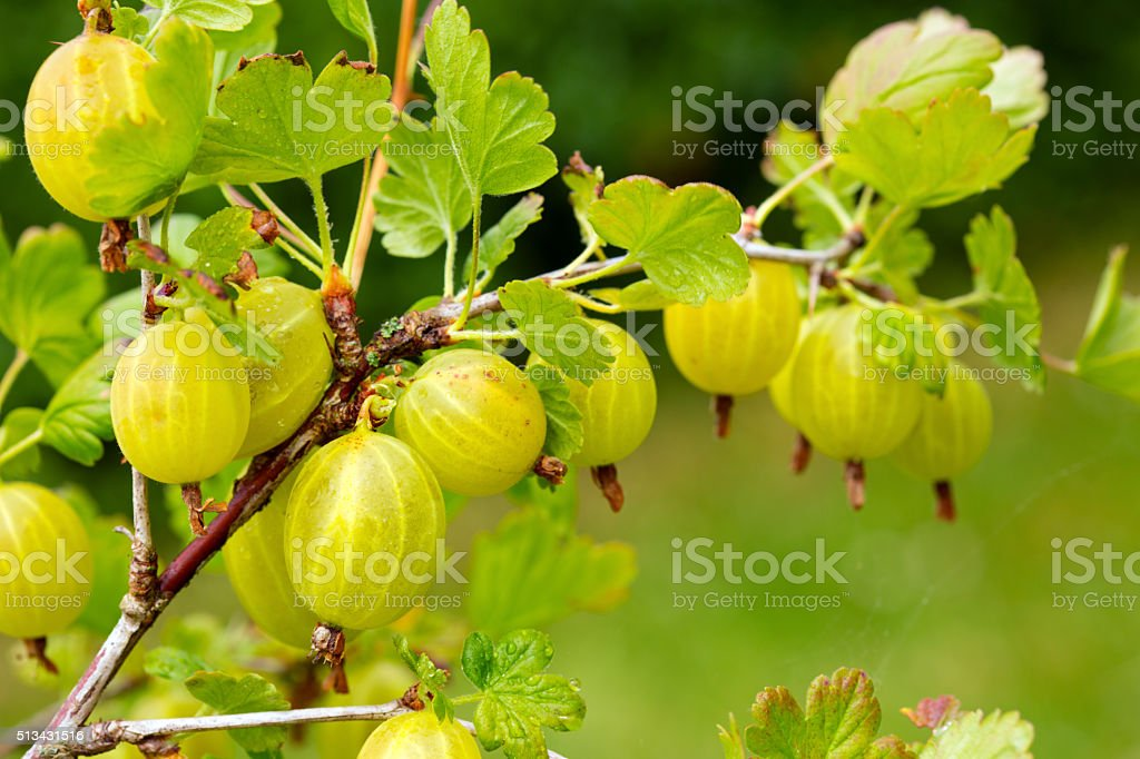 Grows ripe gooseberries on a branch. stock photo