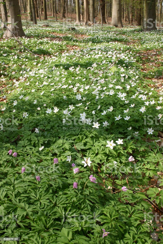 Growth colony of Anemone in the spring woods 5 stock photo