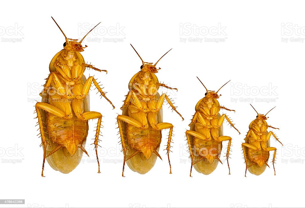growth concept of cockroach isolated on white background with cl stock photo