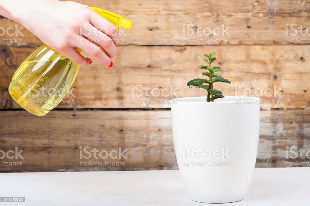 Growth concept - Watering the house plant with spray stock photo