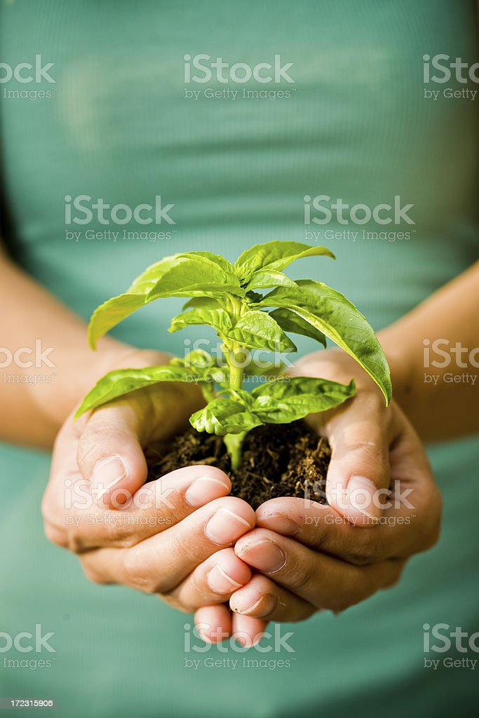 growth of basil plant royalty-free stock photo