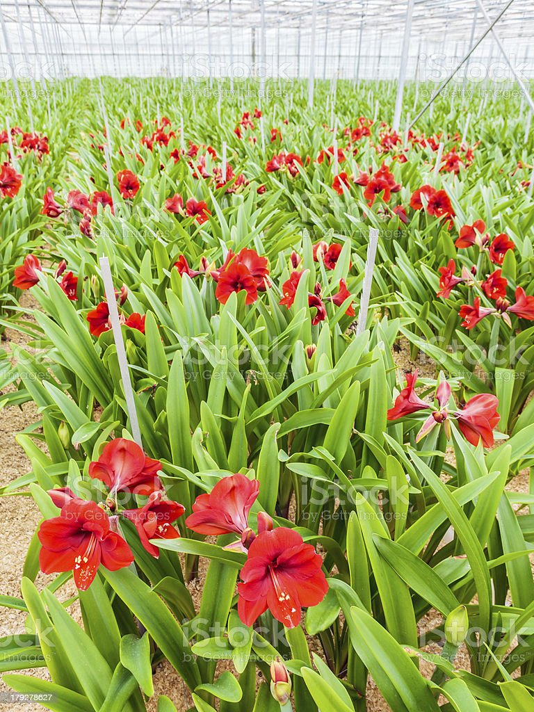 Growth of red lilies inside a greenhouse stock photo