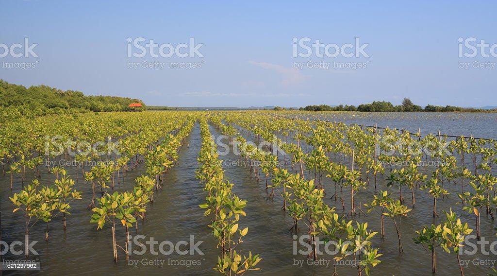 Рост молодой зеленый мангровые леса Стоковые фото Стоковая фотография