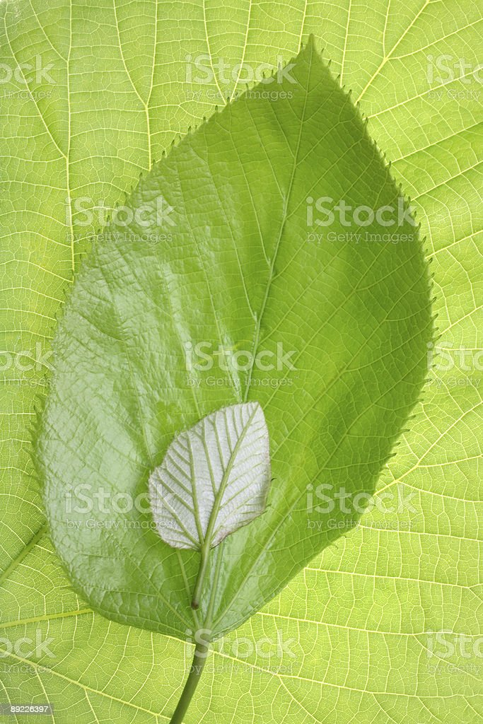 Growth pattern comparison of a green Spring leaf royalty-free stock photo