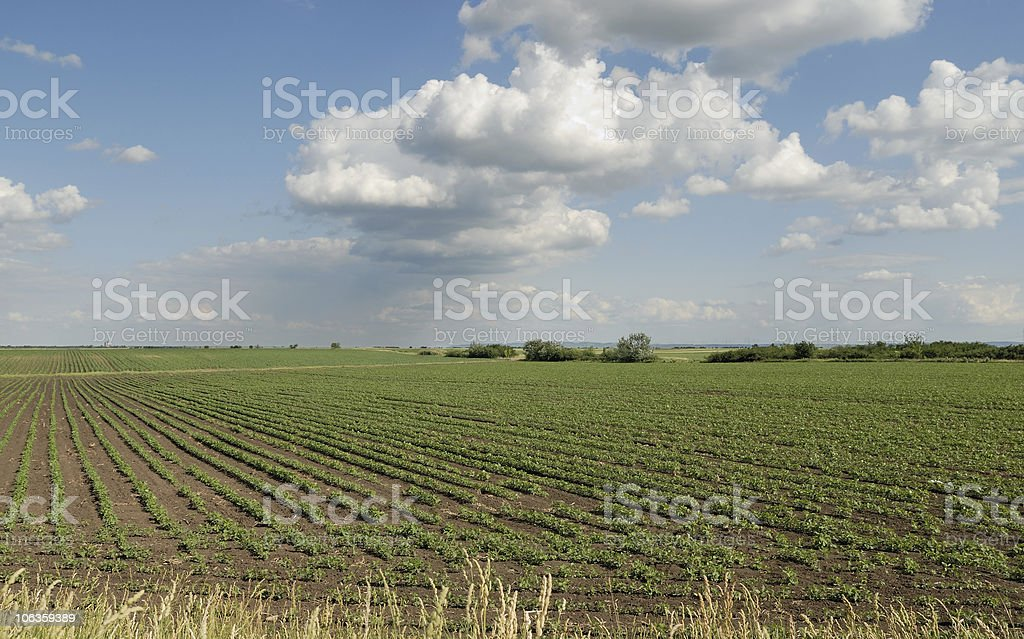 Growth Soybeans stock photo