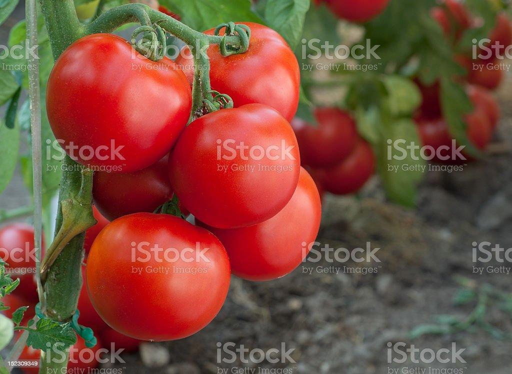 growth tomato royalty-free stock photo