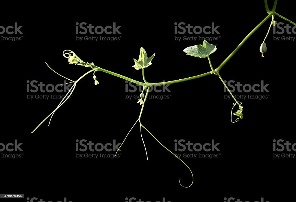 Growth vegetables tendrils stock photo