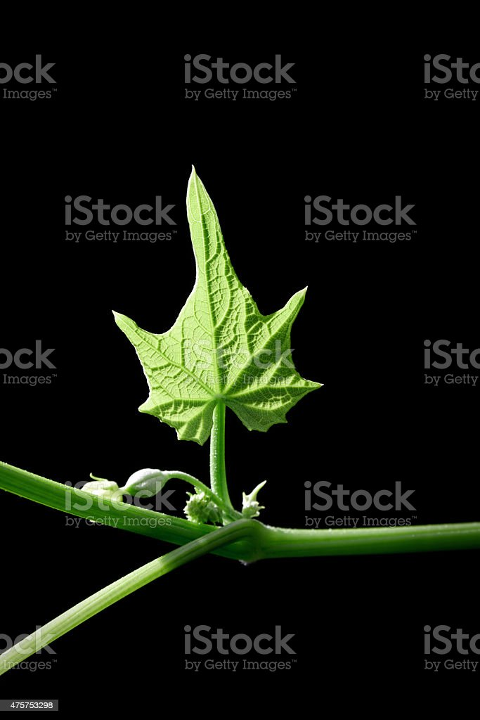 Growth vining up plant for vegetables stock photo