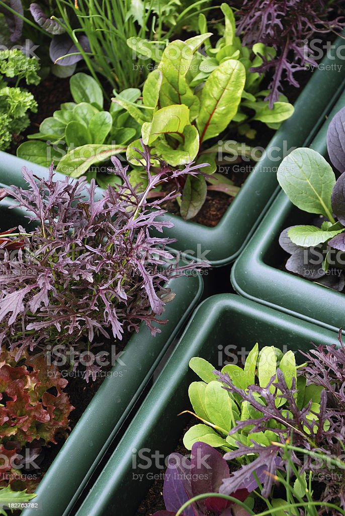 Growth your own fresh vegetables royalty-free stock photo