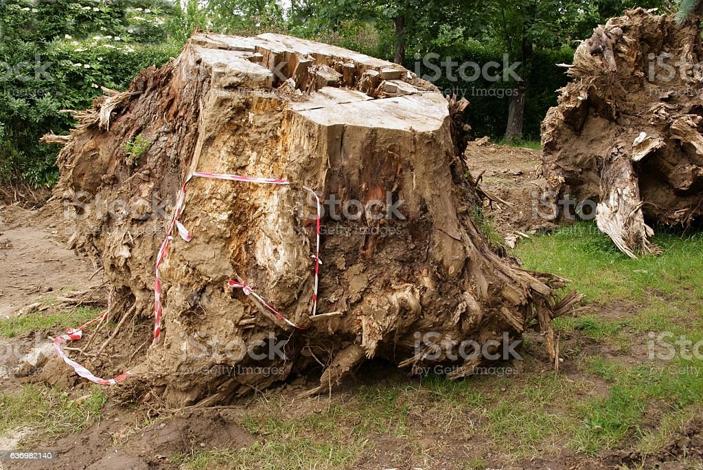 grubbing of old big trees stock photo