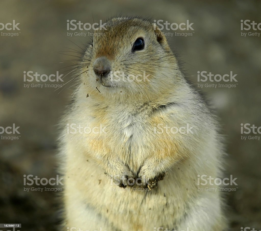 Grubby Gopher stock photo