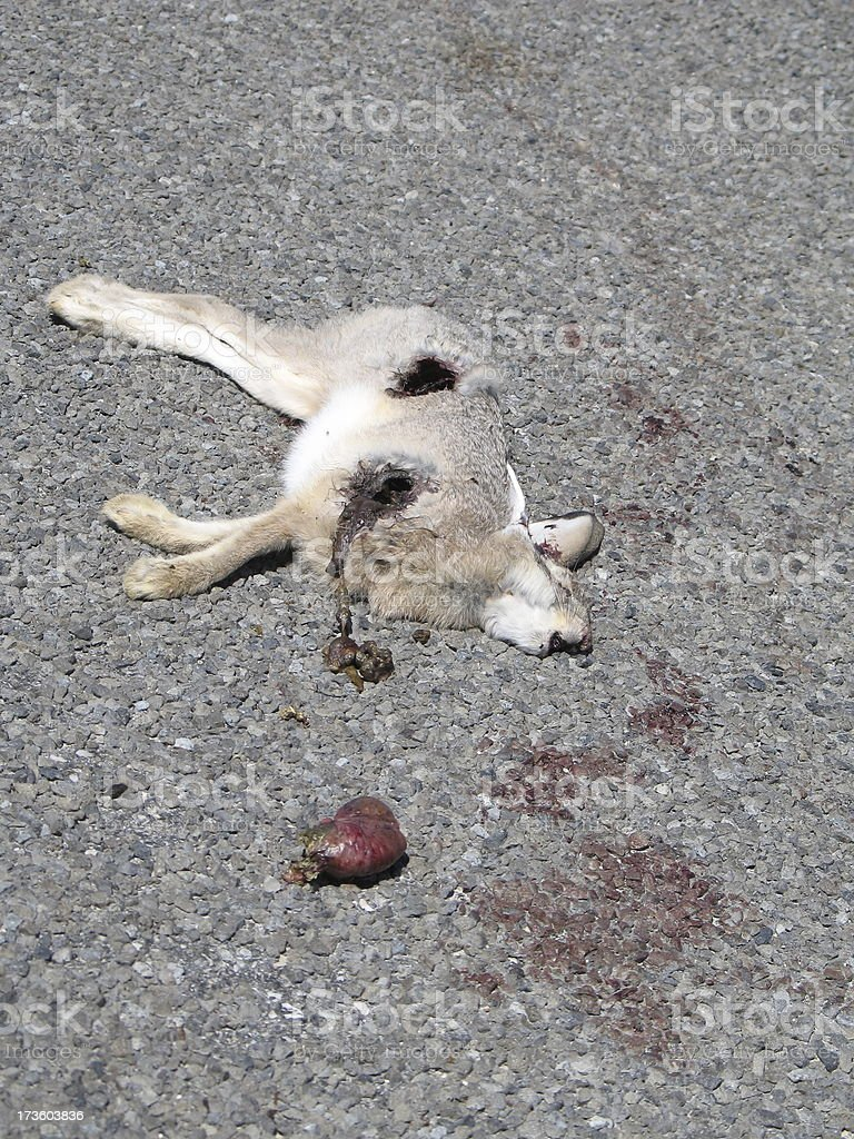 Gruesome Dead Bunny in the Road stock photo