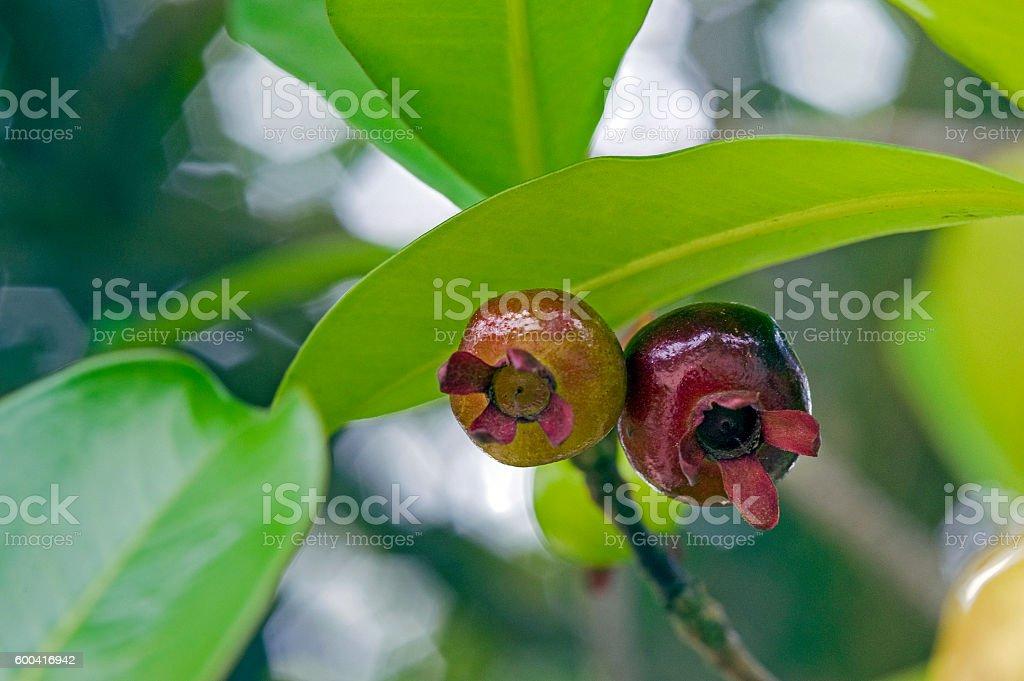 Grumichama, the Brazilian cherry stock photo
