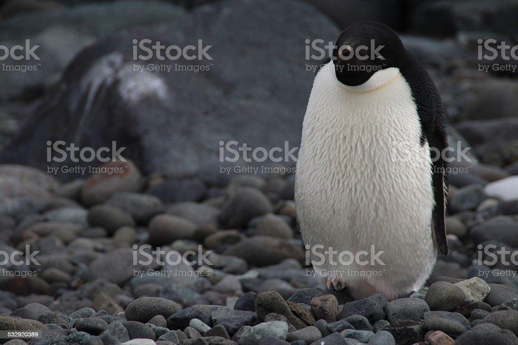 Grumpy Adelie Penguin, Antarctica stock photo