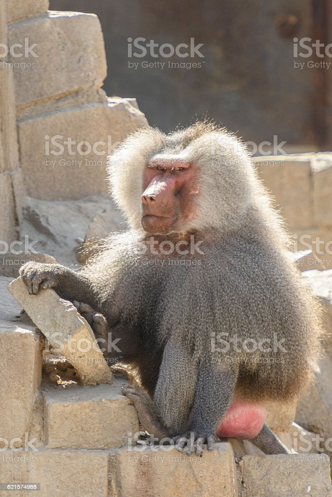 Grumpy baboon of the Hamadryas species stock photo