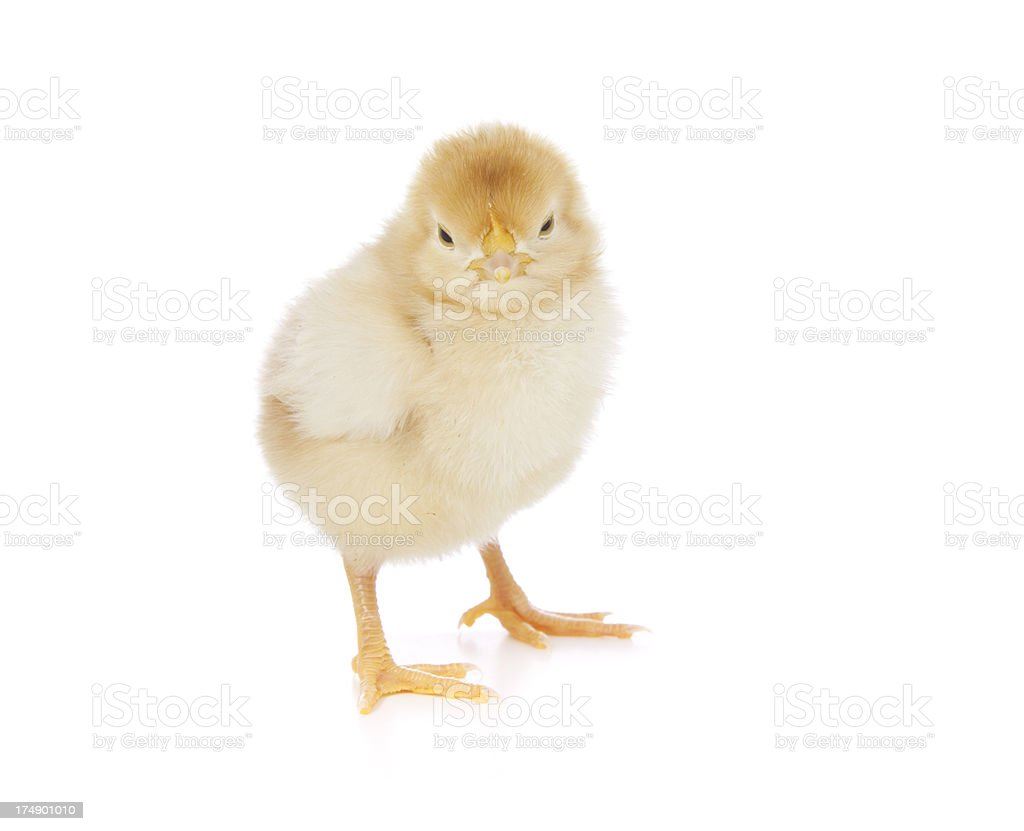 Grumpy baby chicken royalty-free stock photo