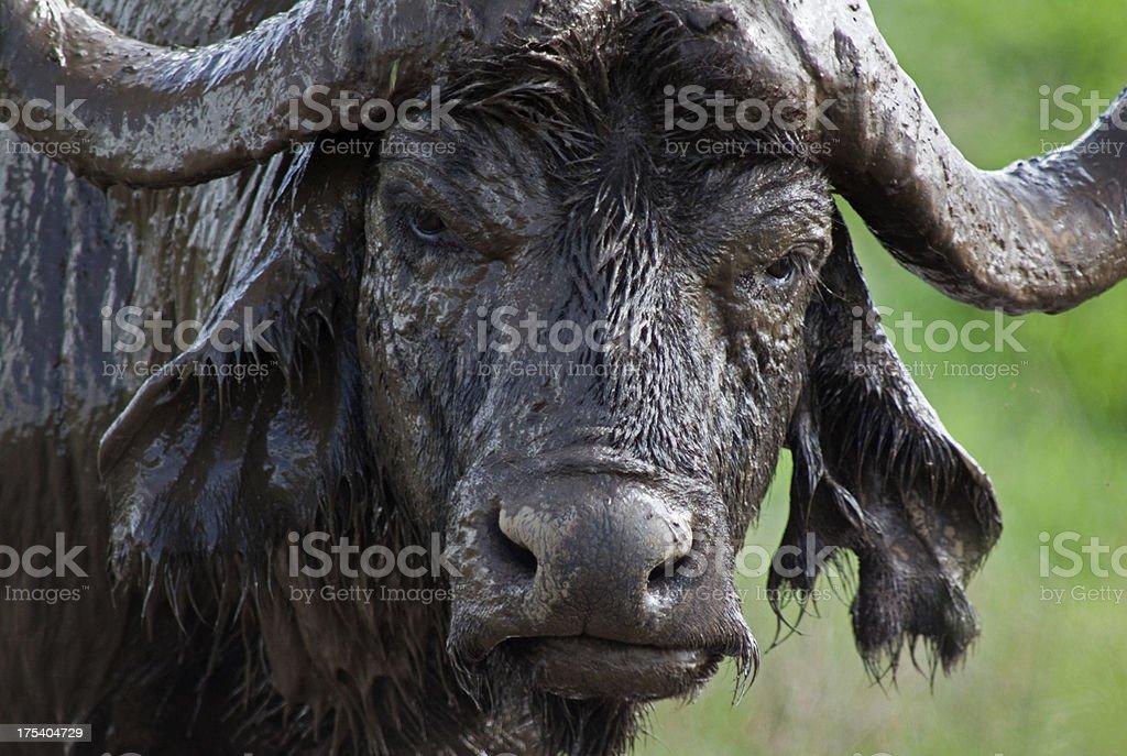 Grumpy Buffalo stock photo