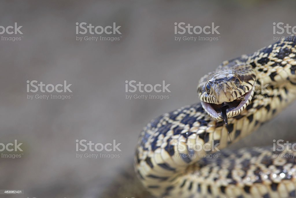 Grumpy Bull snake stock photo