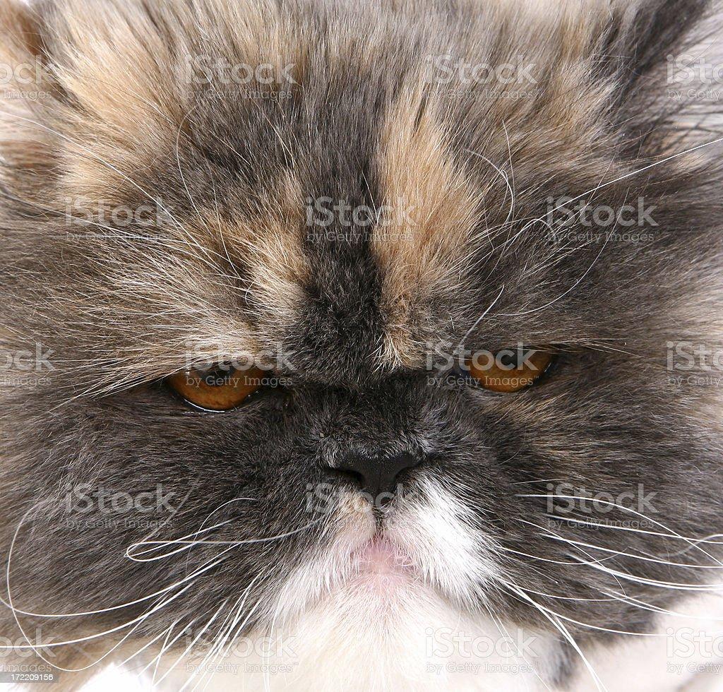 Grumpy Cat royalty-free stock photo