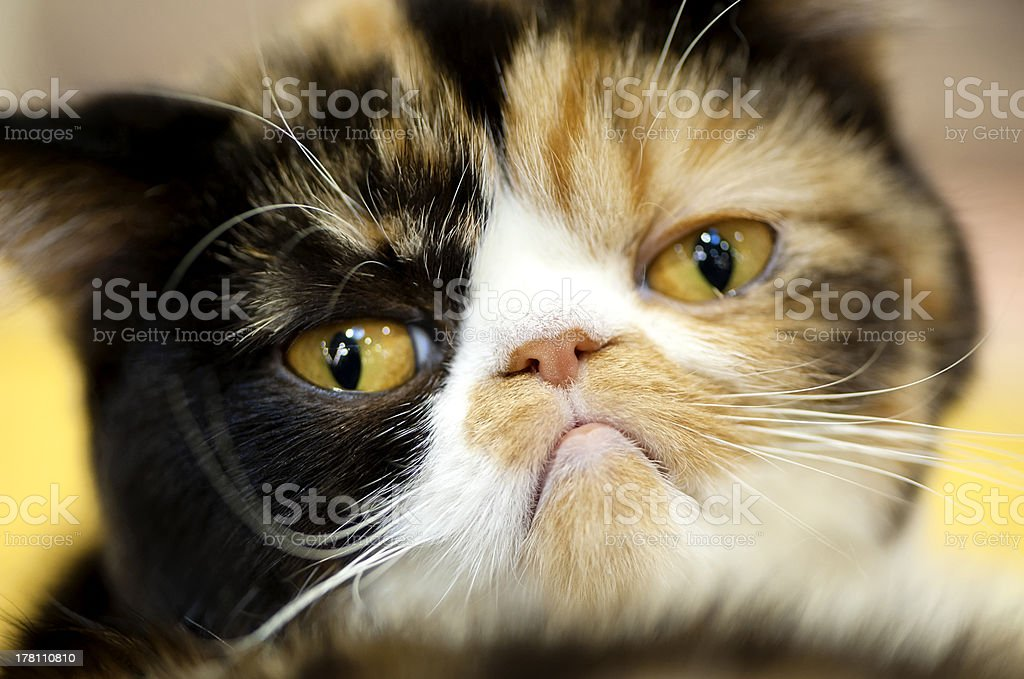 grumpy Exotic tortoiseshell cat portrait stock photo