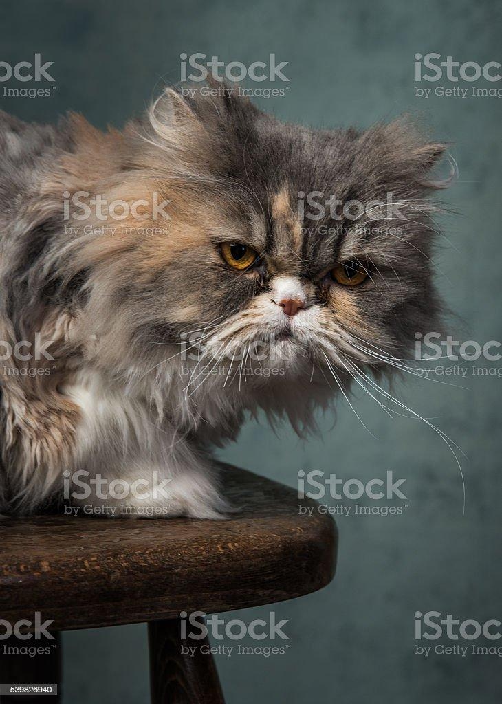 Grumpy Fluffy Cat stock photo
