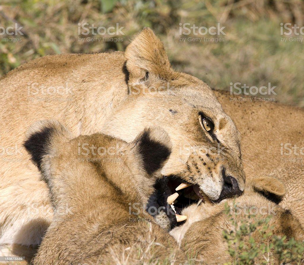Grumpy Lioness royalty-free stock photo