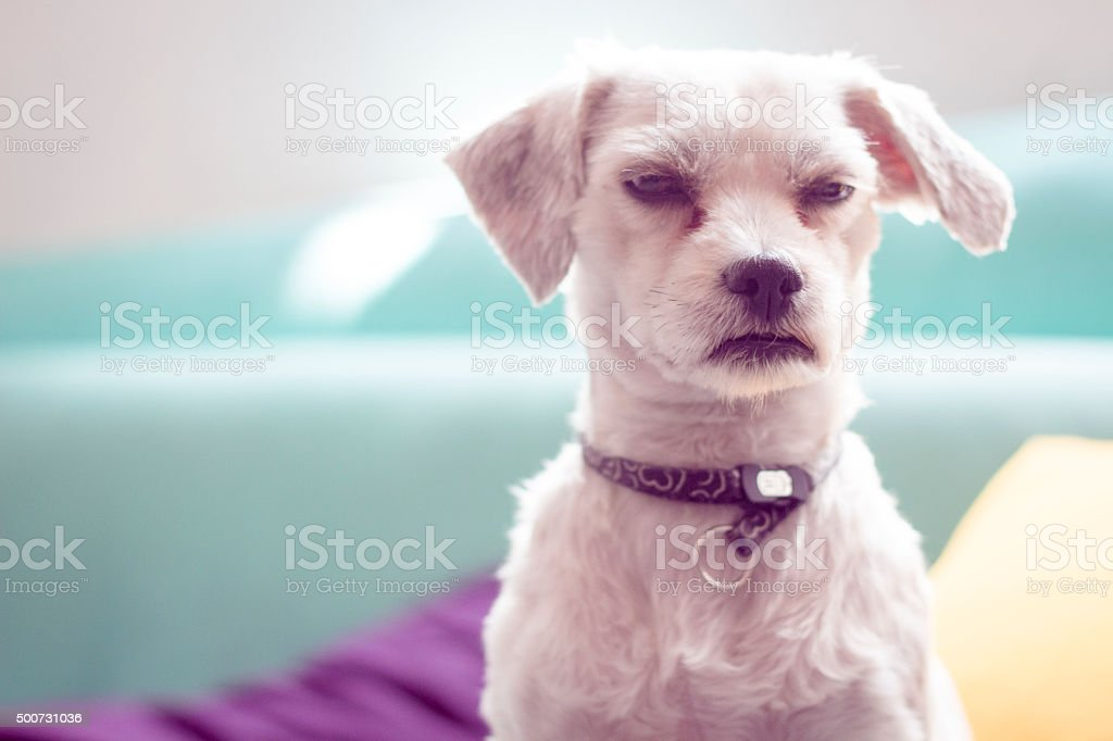Grumpy little  dog in a colorful background stock photo