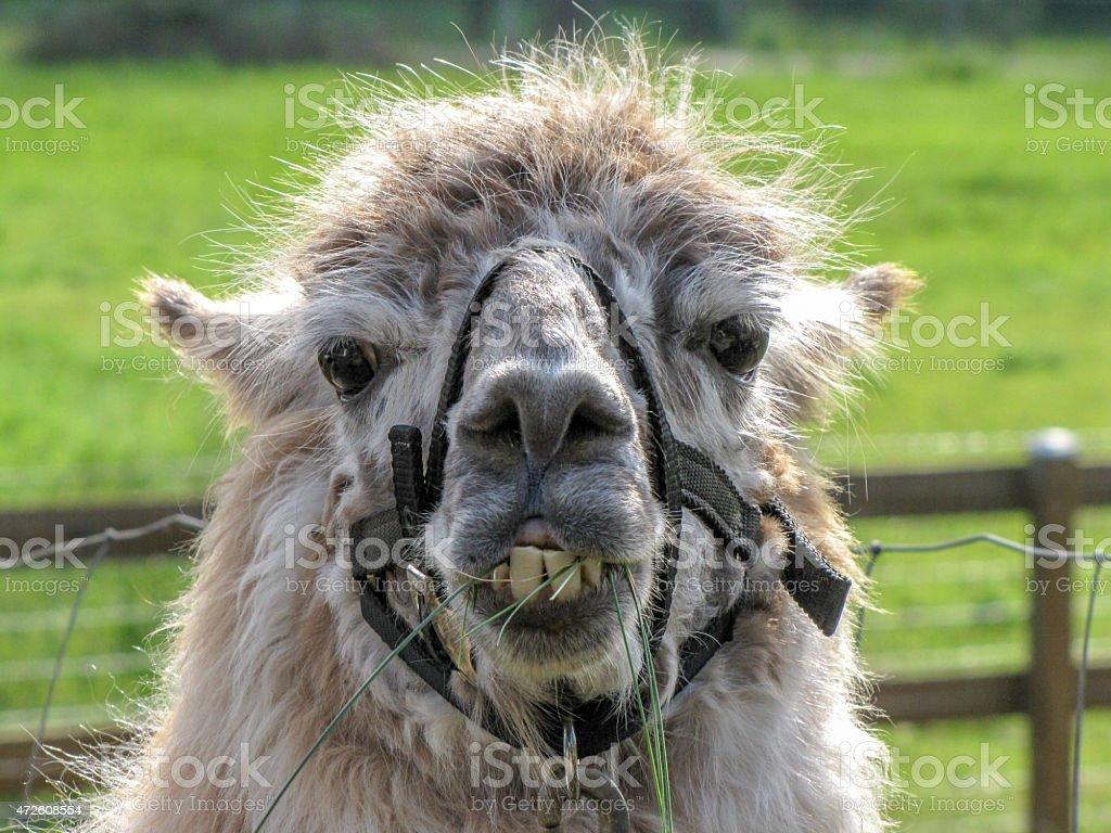 Grumpy Llama stock photo