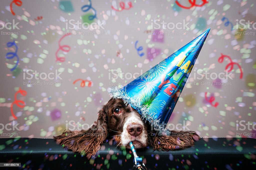 grumpy new year dog stock photo