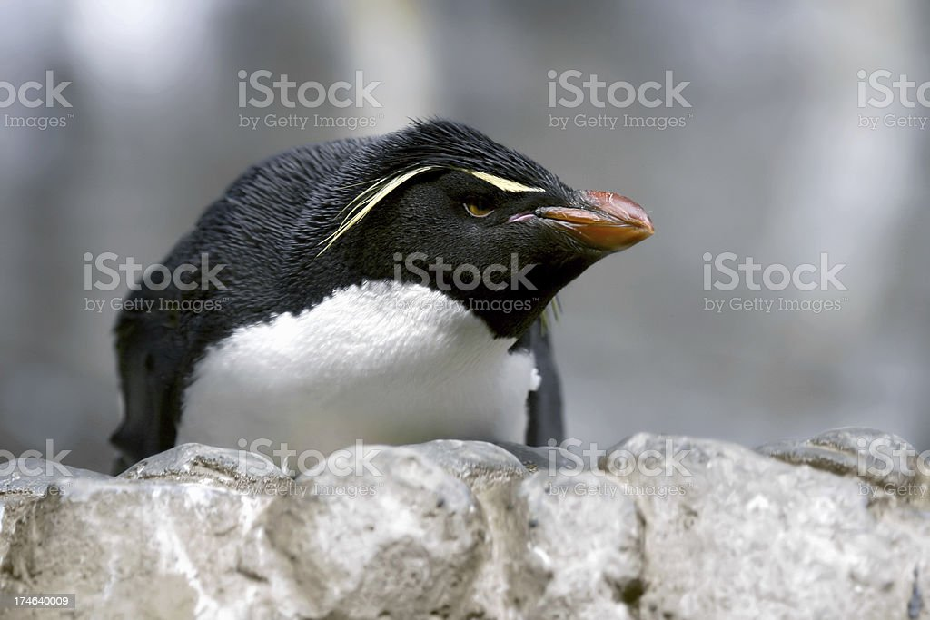 grumpy penguin stock photo