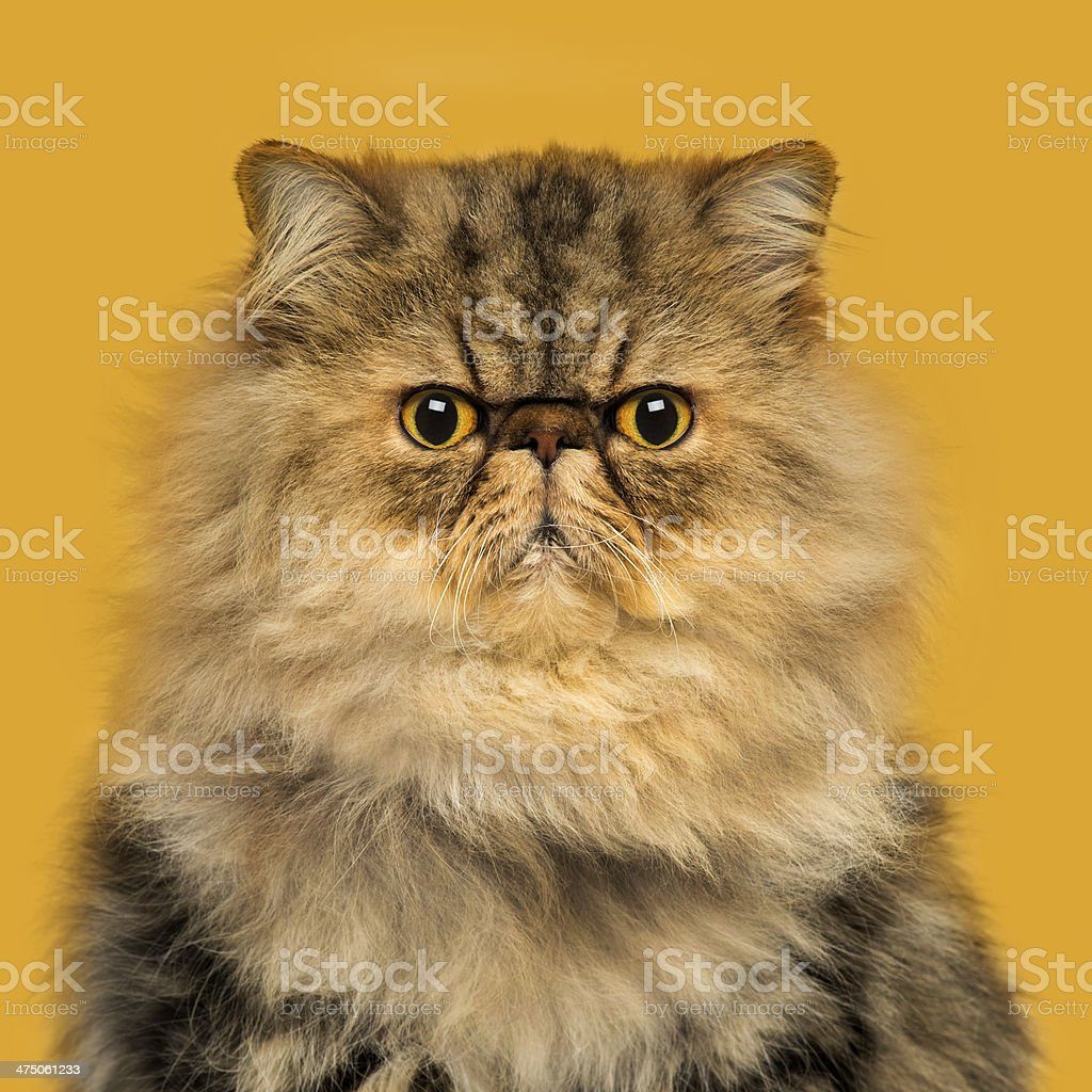 Grumpy Persian cat sitting, looking at the camera stock photo