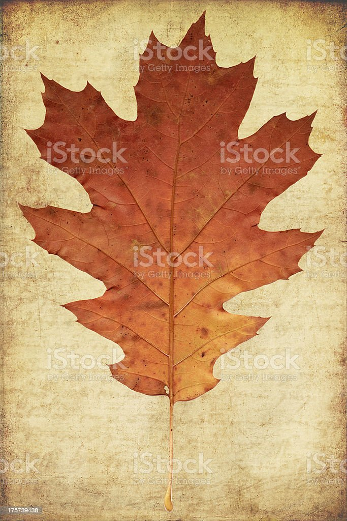grunge background with oak autumn leave stock photo