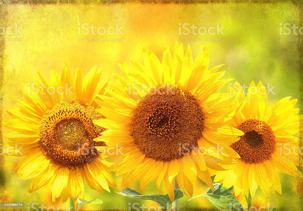 Grunge background with sunflower stock photo