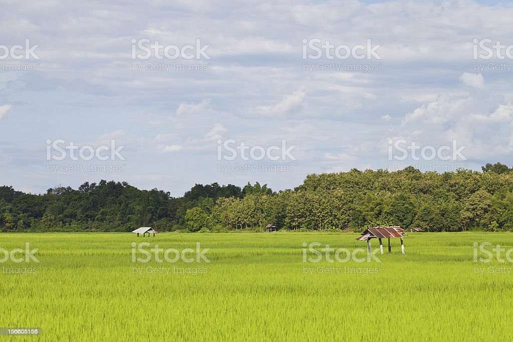 Grunge hut on rice field with cloud sky royalty-free stock photo