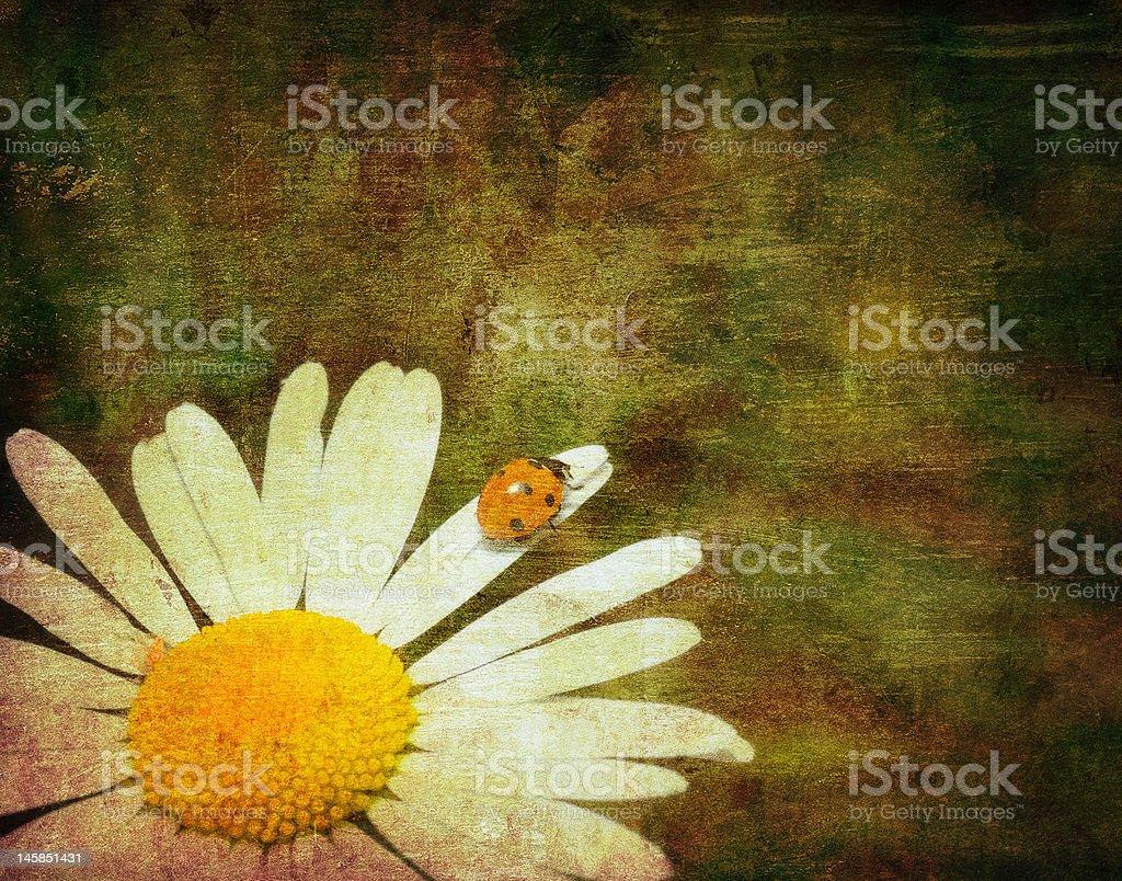 grunge image of a ladybug climbing cammomile flower royalty-free stock photo