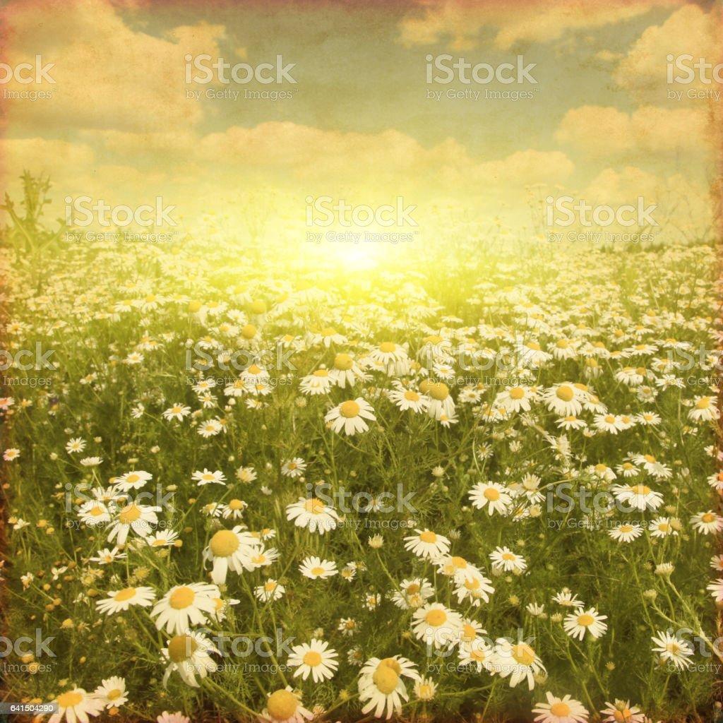 Grunge image of daisy field at sunset. stock photo