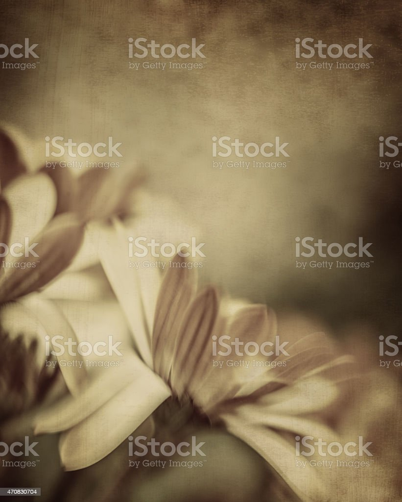 Grunge photo of daisy flowers stock photo