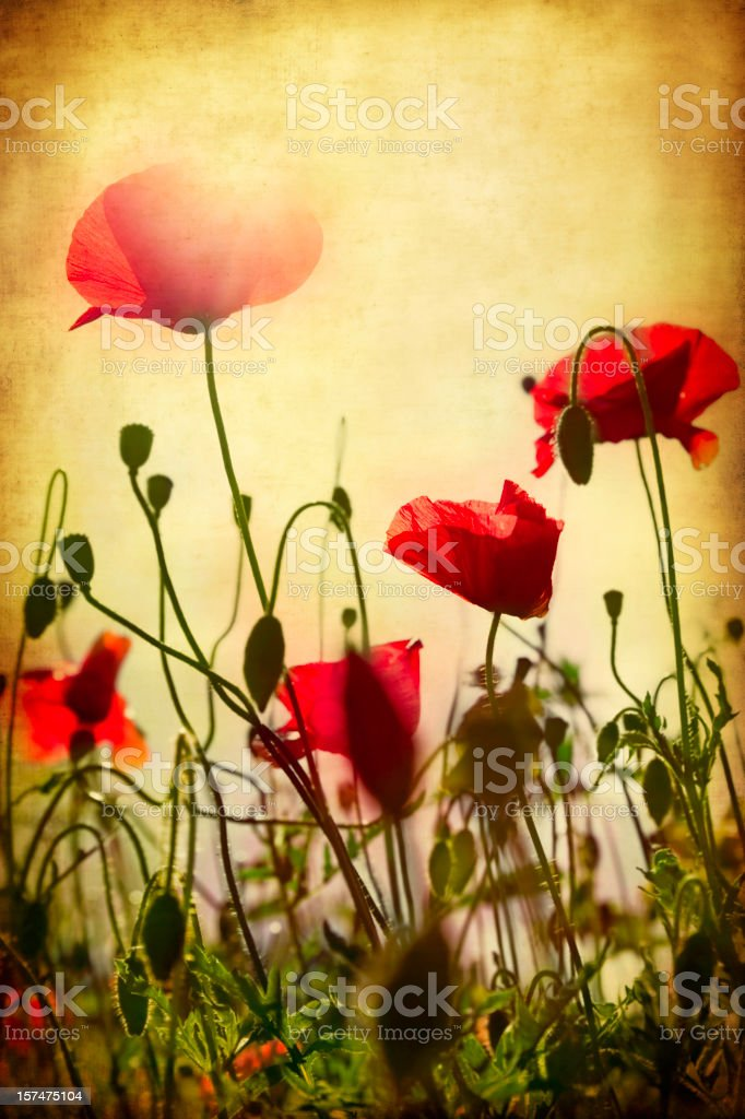 Grunge Poppy Field royalty-free stock photo