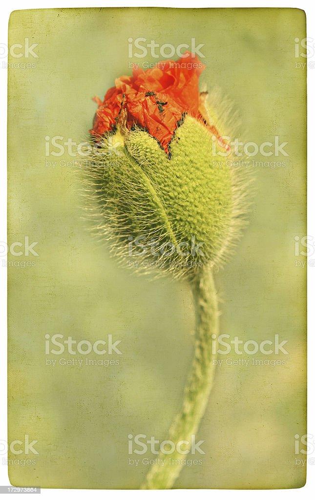 Grunge Poppy Field royalty-free stock photo